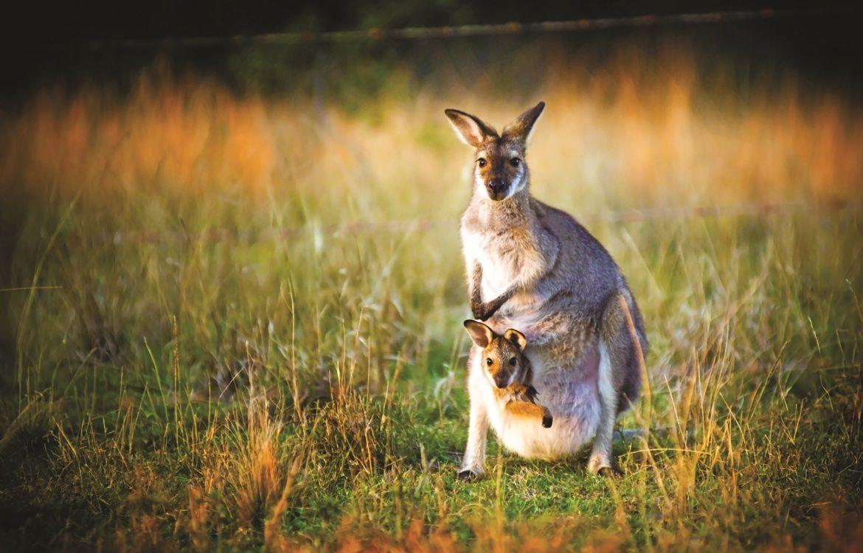 Сколько у кенгуру вагин 10 фотография
